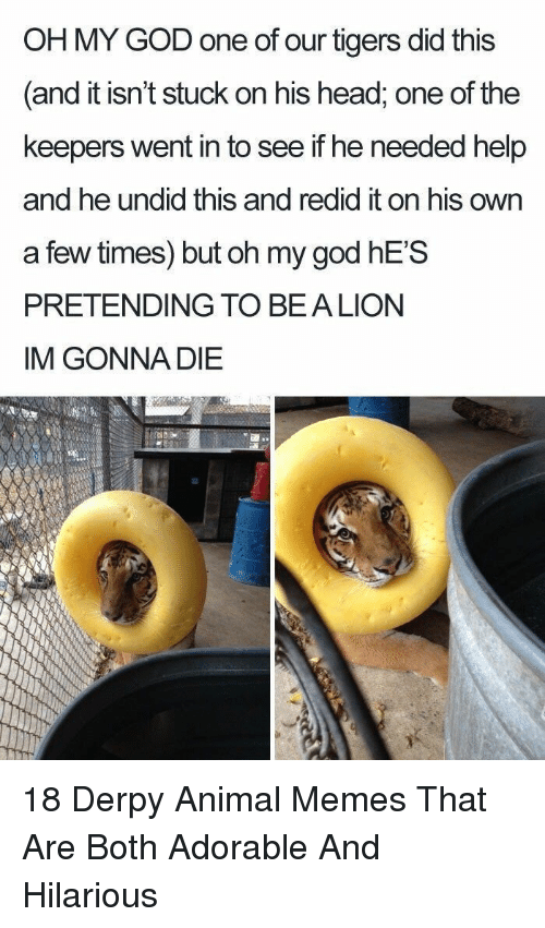 God, Head, and Memes: OH MY GOD one of our tigers did this  and it isn't stuck on his head, one of the  keepers went in to see if he needed help  and he undid this and redid it on his own  a few times) but oh my god hES  PRETENDING TO BEALION  IM GONNA DIE 18 Derpy Animal Memes That Are Both Adorable And Hilarious