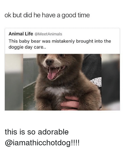 Life, Animal, and Bear: ok but did he have a good time  Animal Life @MeetAnimals  This baby bear was mistakenly brought into the  doggie day care. this is so adorable @iamathicchotdog!!!!