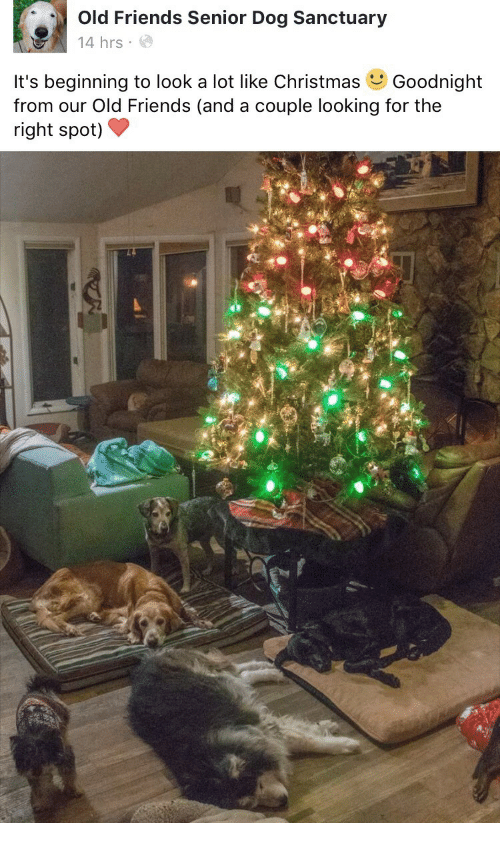 beginning to look a lot like christmas: Old Friends Senior Dog Sanctuary  14 hrs  It's beginning to look a lot like Christmas Goodnight  from our Old Friends (and a couple looking for the  right spot)