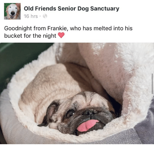 Friends, Old, and Dog: Old Friends Senior Dog Sanctuary  16 hrs  Goodnight from Frankie, who has melted into his  bucket for the night