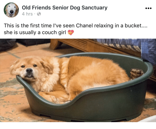 old friends: Old Friends Senior Dog Sanctuary  4 hrs  This is the first time I've seen Chanel relaxing in a bucket....  she is usually a couch girl