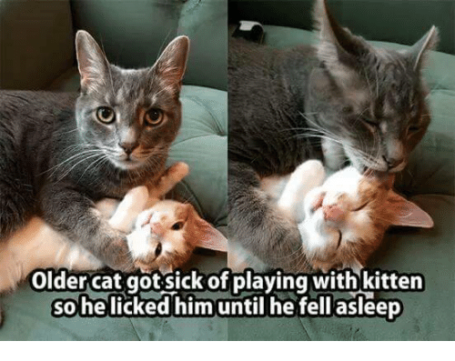 SIZZLE: older cat got sick of playing with kitten  So helicked him until he fell asleep
