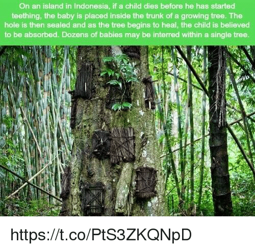 Memes, Indonesia, and Tree: On an island in Indonesia, if a child dies before he has started  teething, the baby is placed inside the trunk of a growing tree. The  hole is then sealed and as the tree begins to heal, the child is believed  to be absorbed. Dozens of babies may be interred within a single tree https://t.co/PtS3ZKQNpD