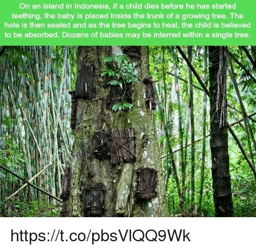 Memes, Indonesia, and Tree: On an island in Indonesia, if a child dies before he has started  teething, the baby is placed inside the trunk of a growing tree. The  hole is then sealed and as the tree begins to heal, the child is believed  to be absorbed. Dozens of babies may be interred within a single tree https://t.co/pbsVlQQ9Wk
