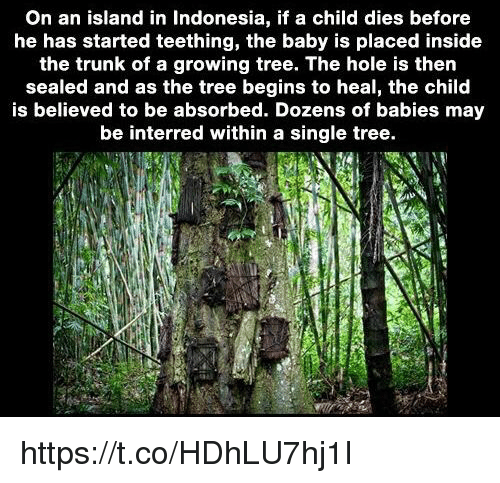 Memes, Indonesia, and Tree: On an island in Indonesia, if a child dies before  he has started teething, the baby is placed inside  the trunk of a growing tree. The hole is then  sealed and as the tree begins to heal, the child  is believed to be absorbed. Dozens of babies may  be interred within a single tree. https://t.co/HDhLU7hj1I