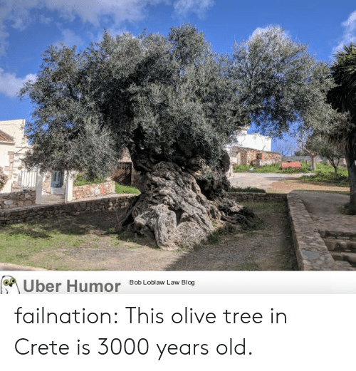 olive tree: on  ber Humor  8ob Loblaw Law Blog failnation:  This olive tree in Crete is 3000 years old.