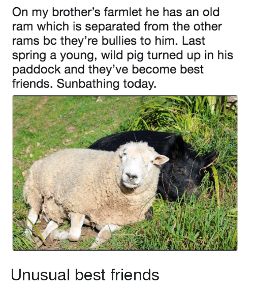Friends, Best, and Rams: On my brother's farmlet he has an old  ram which is separated from the other  rams bc they're bullies to him. Last  spring a young, wild pig turned up in his  paddock and they've become best  friends. Sunbathing today. Unusual best friends