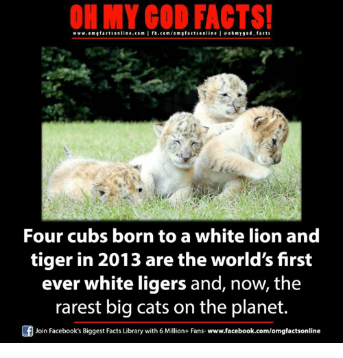 ligers: ON MY GOD FACTS!  www.om facts online.com I fb.com/om g facts online I eohmygod facts  Four cubs born to a white lion and  tiger in 2013 are the world's first  ever white ligers and, now, the  rarest big cats on the planet.  Of Join Facebook's Biggest Facts Library with 6 Million+ Fans  www.facebook.com/omgfactsonline