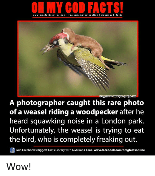 woodpecker: ON MY GOD FACTS!  www.om g facts online.com I fb.com/orm g facts online I eoh my god facts  A photographer caught this rare photo  of a weasel riding woodpecker after he  heard squawking noise in a London park.  Unfortunately, the weasel is trying to eat  the bird, who is completely freaking out.  Of Join Facebook's Biggest Facts Library with 6 Million+ Fans  www.facebook.com/omgfactsonline Wow!