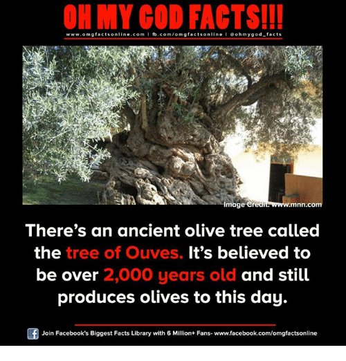 olive tree: ON MY GOD FACTS!!!  www.omg facts online.com I fb.com/omg facts online I Goh my god-facts  Image Cred  wwww.mnn.com  There's an ancient olive tree called  the  tree of Ouves. It's believed to  be over 2,000 years old and still  produces olives to this day.  Join Facebook's Biggest Facts Library with 6 Million+ Fans- www.facebook.com/omgfactsonline