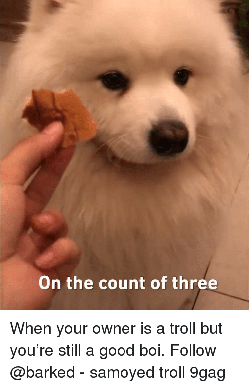 the count: On the count of three When your owner is a troll but you're still a good boi. Follow @barked - samoyed troll 9gag