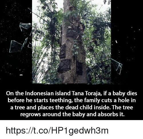 Family, Memes, and Tree: On the Indonesian island Tana Toraja, if a baby dies  before he starts teething, the family cuts a hole in  a tree and places the dead child inside. The tree  regrows around the baby and absorbs it. https://t.co/HP1gedwh3m