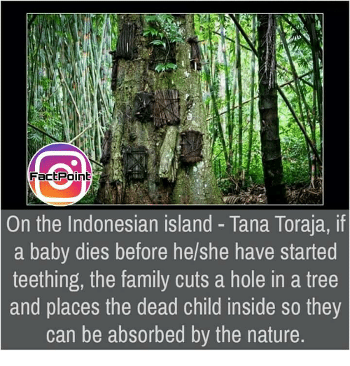 Memes, Holes, and Trees: On the Indonesian island Tana Toraja, if  a baby dies before he/she have started  teething, the family cuts a hole in a tree  and places the dead child inside so they  can be absorbed by the nature.
