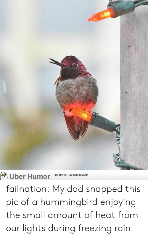 Hummingbird: on  Uber Humor I'm afraid just blue myself failnation:  My dad snapped this pic of a hummingbird enjoying the small amount of heat from our lights during freezing rain