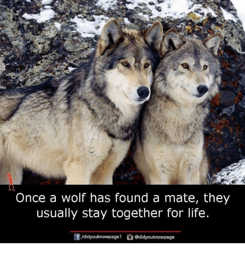Life, Memes, and Wolf: Once a wolf has found a mate, they  usually stay together for life  団/didyouknowpage1舀@didyouknowpage