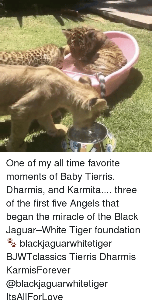 Whitnesses: One of my all time favorite moments of Baby Tierris, Dharmis, and Karmita.... three of the first five Angels that began the miracle of the Black Jaguar–White Tiger foundation 🐾 blackjaguarwhitetiger BJWTclassics Tierris Dharmis KarmisForever @blackjaguarwhitetiger ItsAllForLove