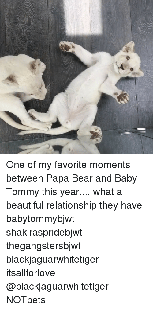 papa bear: One of my favorite moments between Papa Bear and Baby Tommy this year.... what a beautiful relationship they have! babytommybjwt shakiraspridebjwt thegangstersbjwt blackjaguarwhitetiger itsallforlove @blackjaguarwhitetiger NOTpets