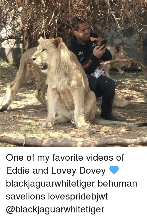 Memes, Videos, and 🤖: One of my favorite videos of Eddie and Lovey Dovey 💙 blackjaguarwhitetiger behuman savelions lovespridebjwt @blackjaguarwhitetiger