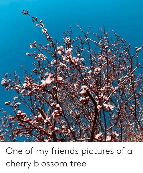My Friends Pictures: One of my friends pictures of a cherry blossom tree