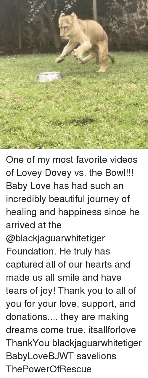 baby love: One of my most favorite videos of Lovey Dovey vs. the Bowl!!! Baby Love has had such an incredibly beautiful journey of healing and happiness since he arrived at the @blackjaguarwhitetiger Foundation. He truly has captured all of our hearts and made us all smile and have tears of joy! Thank you to all of you for your love, support, and donations.... they are making dreams come true. itsallforlove ThankYou blackjaguarwhitetiger BabyLoveBJWT savelions ThePowerOfRescue
