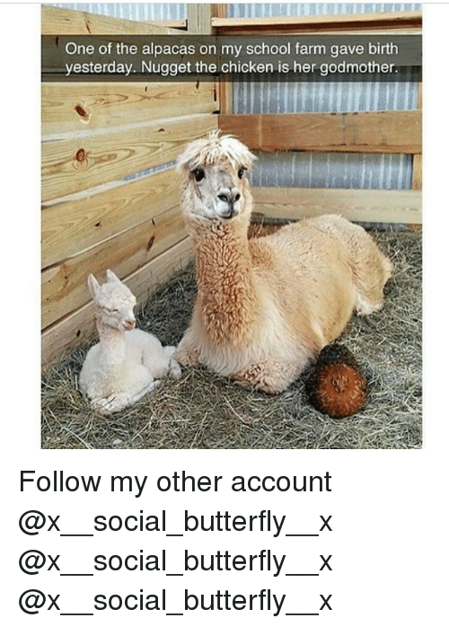 Memes, School, and Butterfly: One of the alpacas on my school farm gave birth  yesterday. Nugget the chicken is her godmother Follow my other account @x__social_butterfly__x @x__social_butterfly__x @x__social_butterfly__x
