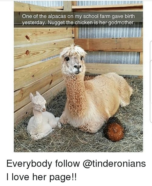 Love, Memes, and School: One of the alpacas on my school farm gave birth  yesterday. Nugget the chicken is her godmother Everybody follow @tinderonians I love her page!!