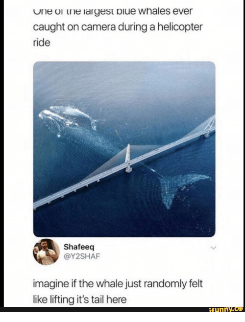 Largest: One or the largest biue whales ever  caught on camera during a helicopter  ride  Shafeeq  @Y2SHAF  imagine if the whale just randomly felt  like lifting it's tail here  ifunny.c