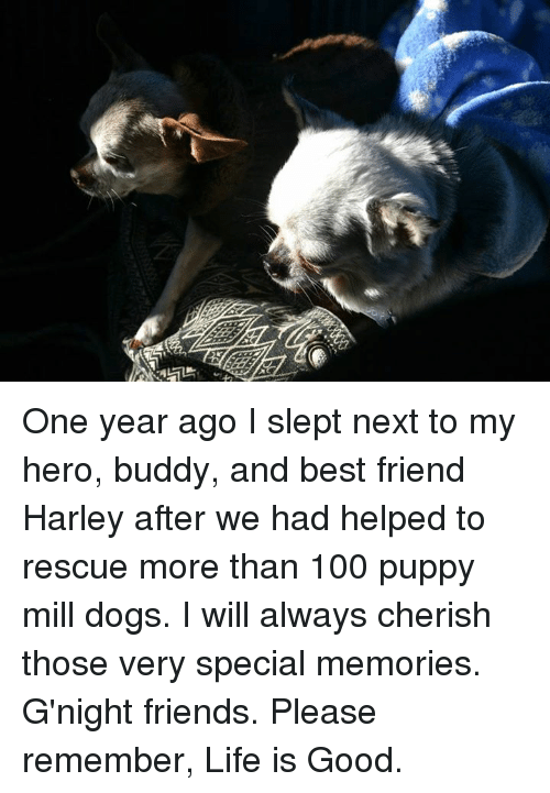 My Hero: One year ago I slept next to my hero, buddy, and best friend Harley after we had helped to rescue more than 100 puppy mill dogs.  I will always cherish those very special memories.  G'night friends.  Please remember, Life is Good.
