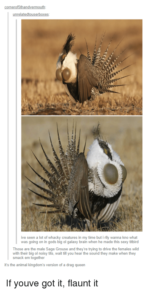 Whacky: onerof5thandvermo  unrelatedtouserbox  ive seen a lot of whacky creatures in my time but i rlly wanna kno what  was going on in gods big ol galaxy brain when he made this sexy titbird  Those are the male Sage Grouse and they're trying to drive the females wild  with their big ol noisy tits, wait till you hear the sound they make when they  smack em together  it's the animal kingdom's version of a drag queen If youve got it, flaunt it
