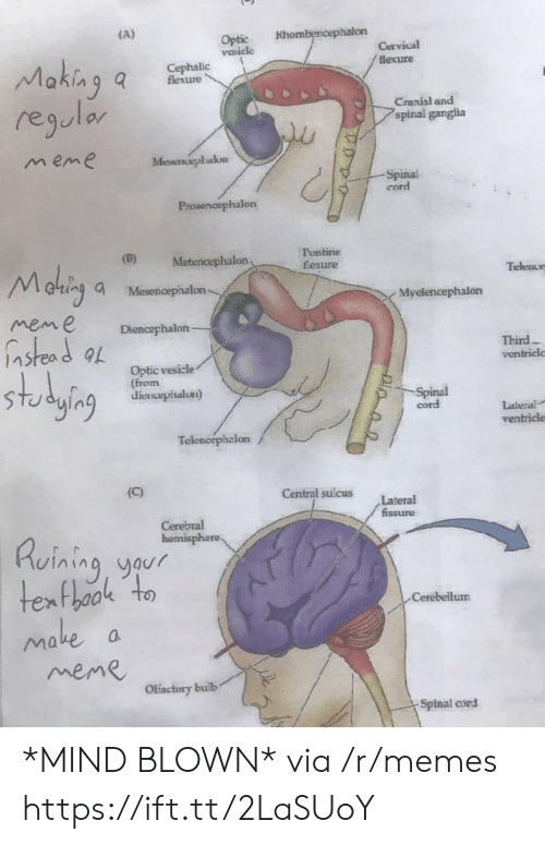 lateral: Optic Khombencephalon  vesicle  lexure  flexure  regulor  m eme  Cranial and  spinal ganglia  Mesenephakon  Spinal  cord  Prosenoephalon  (D) Metencephalon  Tontine  fexure  altin, a Mesencephalon  mene Diencephalon  Telence  Myelencephalon  nstead a  Third  ventricle  Optic vesicle  (from  dienvepiualun)  ging a  cord  Lateral  ventricle  Central sulcus Lateral  Ruining yaur  Cerebellum  ake  meme  Olactory builb  Spinal cord *MIND BLOWN* via /r/memes https://ift.tt/2LaSUoY