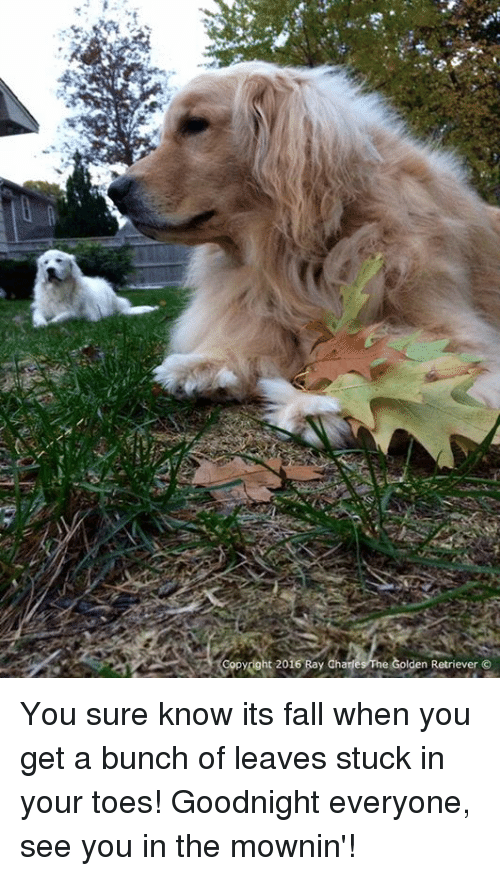 Fall: opydght 2016 Bay Charles he Golden Retriever You sure know its fall when you get a bunch of leaves stuck in your toes! Goodnight everyone, see you in the mownin'!