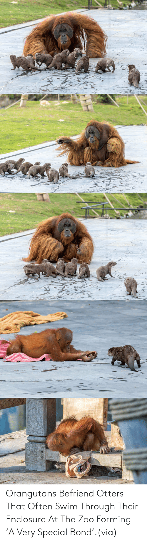 zoo: Orangutans Befriend Otters That Often Swim Through Their Enclosure At The Zoo Forming 'A Very Special Bond'.(via)