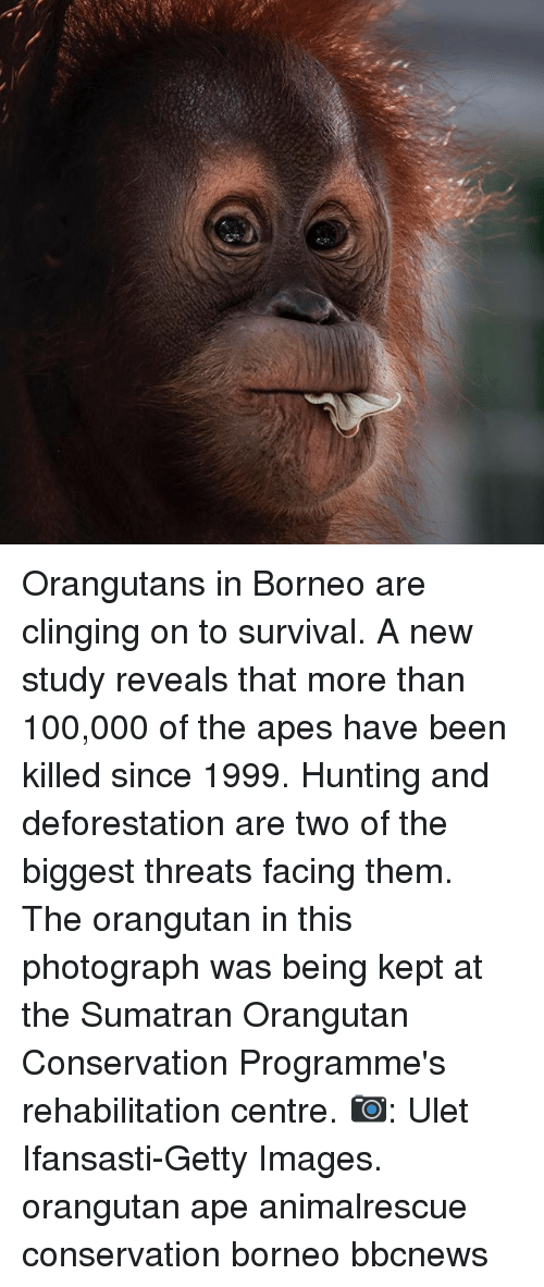 Anaconda, Memes, and Hunting: Orangutans in Borneo are clinging on to survival. A new study reveals that more than 100,000 of the apes have been killed since 1999. Hunting and deforestation are two of the biggest threats facing them. The orangutan in this photograph was being kept at the Sumatran Orangutan Conservation Programme's rehabilitation centre. 📷: Ulet Ifansasti-Getty Images. orangutan ape animalrescue conservation borneo bbcnews