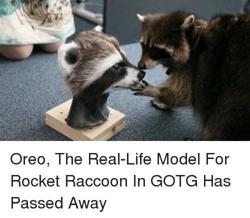 oreo: Oreo, The Real-Life Model For Rocket Raccoon In GOTG Has Passed Away