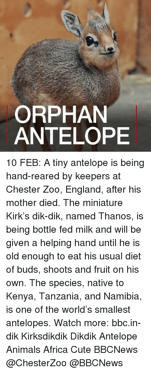 nativity: ORPHAN  ANTELOPE 10 FEB: A tiny antelope is being hand-reared by keepers at Chester Zoo, England, after his mother died. The miniature Kirk's dik-dik, named Thanos, is being bottle fed milk and will be given a helping hand until he is old enough to eat his usual diet of buds, shoots and fruit on his own. The species, native to Kenya, Tanzania, and Namibia, is one of the world's smallest antelopes. Watch more: bbc.in-dik Kirksdikdik Dikdik Antelope Animals Africa Cute BBCNews @ChesterZoo @BBCNews