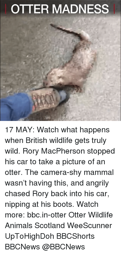 Otterly: OTTER MADNESS 17 MAY: Watch what happens when British wildlife gets truly wild. Rory MacPherson stopped his car to take a picture of an otter. The camera-shy mammal wasn't having this, and angrily chased Rory back into his car, nipping at his boots. Watch more: bbc.in-otter Otter Wildlife Animals Scotland WeeScunner UpToHighDoh BBCShorts BBCNews @BBCNews