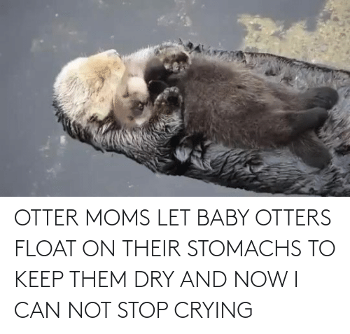 stop: OTTER MOMS LET BABY OTTERS FLOAT ON THEIR STOMACHS TO KEEP THEM DRY AND NOW I CAN NOT STOP CRYING