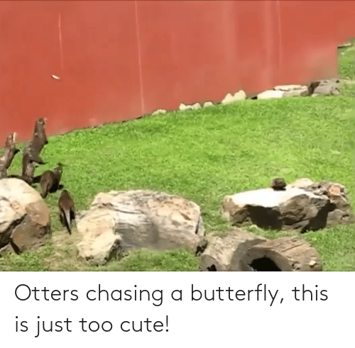 Otters: Otters chasing a butterfly, this is just too cute!
