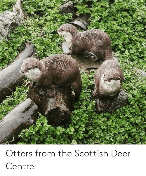 Otters: Otters from the Scottish Deer Centre