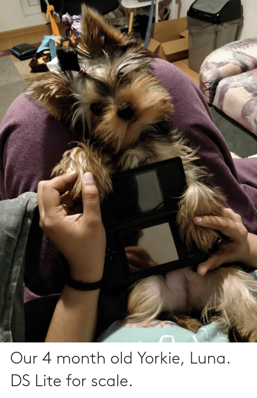 ds lite: Our 4 month old Yorkie, Luna. DS Lite for scale.