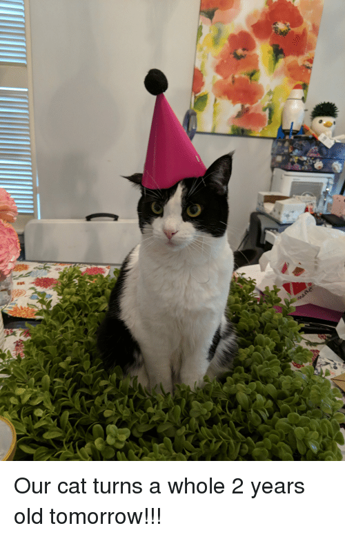 Tomorrow, Old, and Cat: Our cat turns a whole 2 years old tomorrow!!!