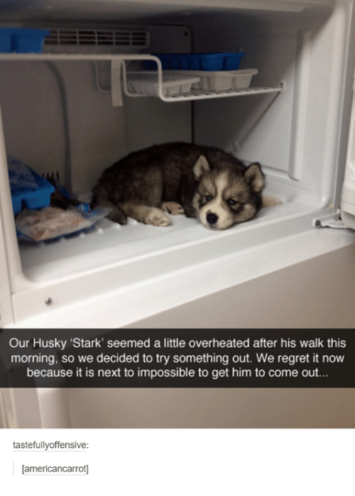 """dank: Our Husky """"Stark' seemed a little overheated after his walk this  morning, so we decided to try something out. We regret it now  because it is next to impossible to get him to come out...  tastefully offensive:  americancarrot"""