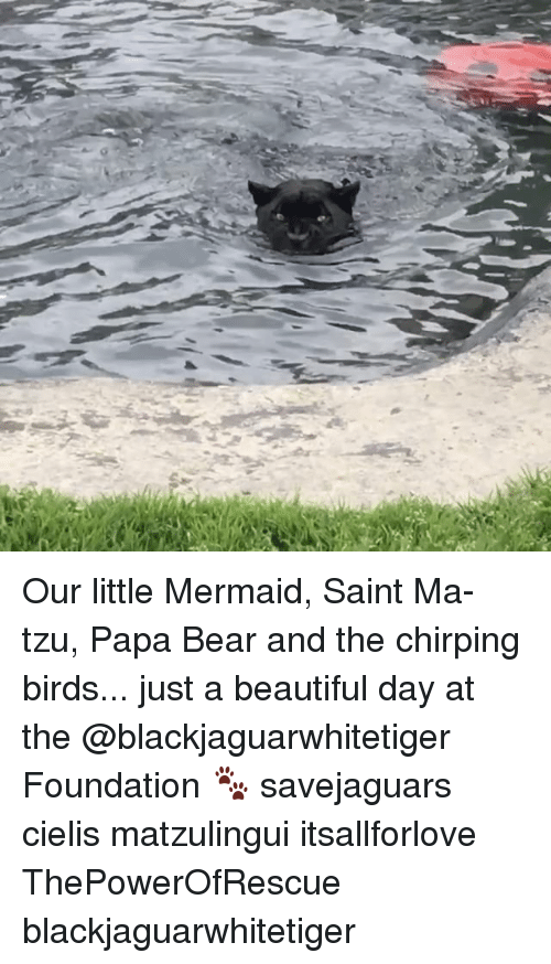 papa bear: Our little Mermaid, Saint Ma-tzu, Papa Bear and the chirping birds... just a beautiful day at the @blackjaguarwhitetiger Foundation 🐾 savejaguars cielis matzulingui itsallforlove ThePowerOfRescue blackjaguarwhitetiger