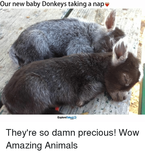 baby donkey: Our new baby Donkeys taking a nap  Talent  Explore They're so damn precious!  Wow Amazing Animals