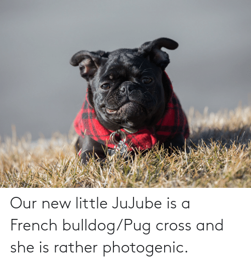 french bulldog: Our new little JuJube is a French bulldog/Pug cross and she is rather photogenic.