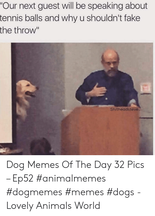 """Guest: """"Our next guest will be speaking about  tennis balls and why u shouldn't fake  the throw""""  Shitheadsteve Dog Memes Of The Day 32 Pics – Ep52 #animalmemes #dogmemes #memes #dogs - Lovely Animals World"""