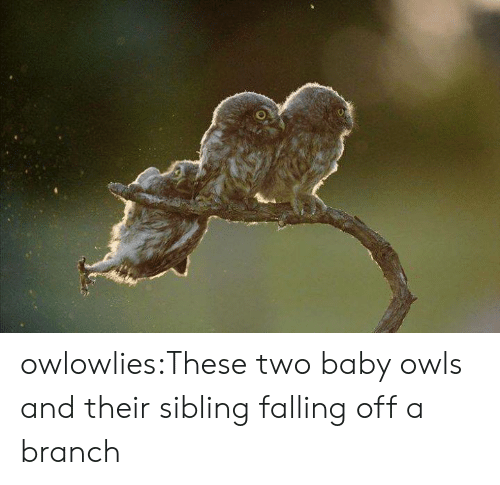 falling off: owlowlies:These two baby owls and their sibling falling off a branch