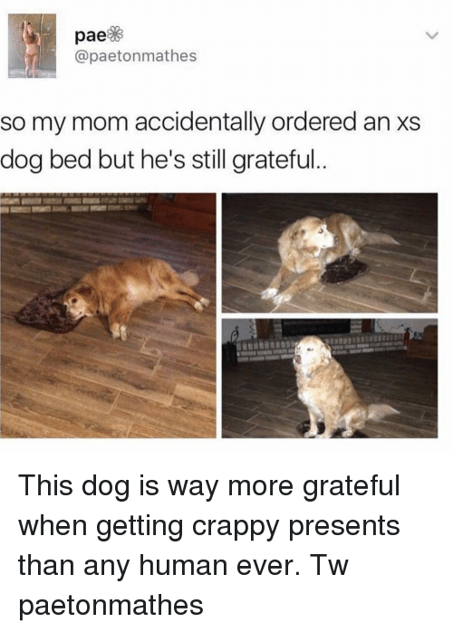 dog bed: @paetonmathes  so my mom accidentally ordered an xs  dog bed but he's still grateful This dog is way more grateful when getting crappy presents than any human ever. Tw paetonmathes