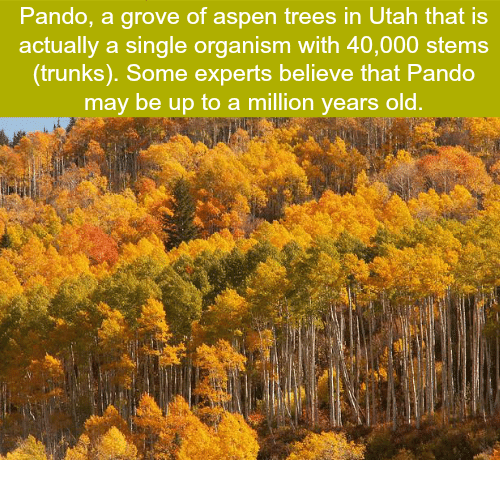 Aspen: Pando, a grove of aspen trees in Utah that is  actually a single organism with 40,000 stems  (trunks). Some experts believe that Pando  may be up to a million years old.