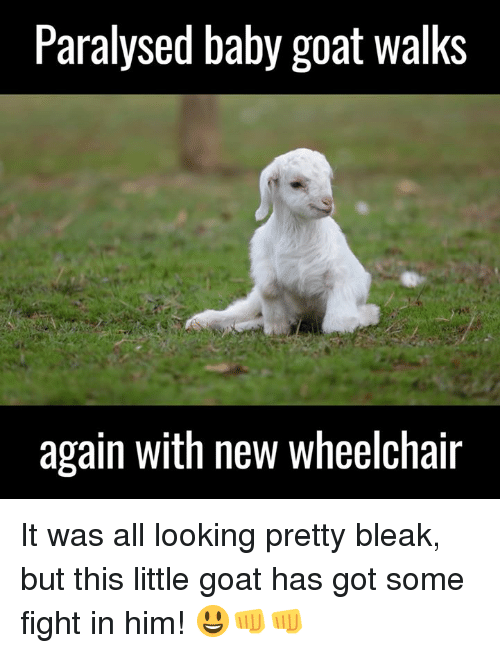 Baby Goats: Paralysed baby goat walks  again with new wheelchair It was all looking pretty bleak, but this little goat has got some fight in him! 😃👊👊